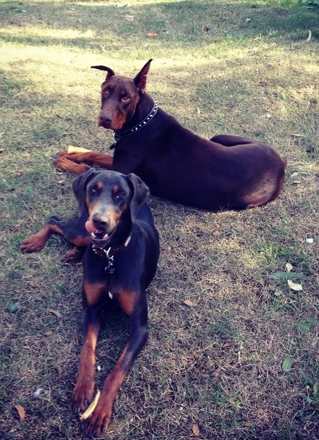 Doberman pinchers