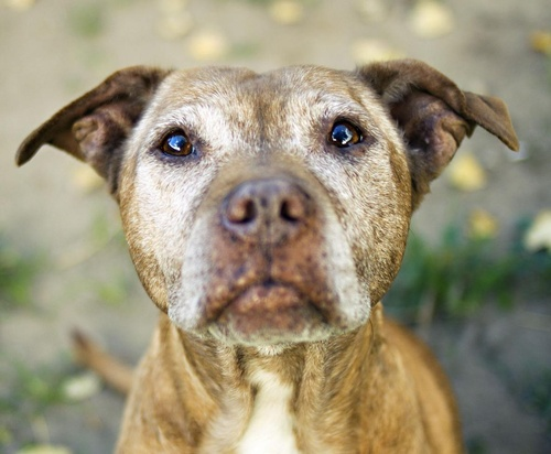 Senior pitbull mix