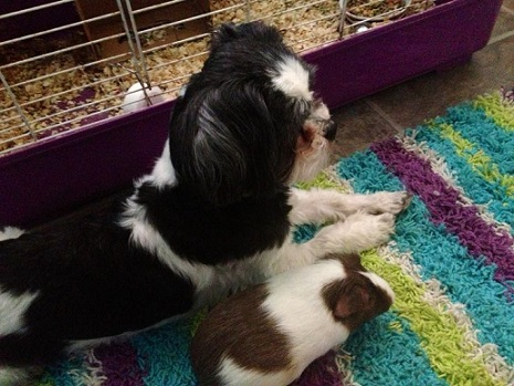 Shihtzu friends with guinea pig