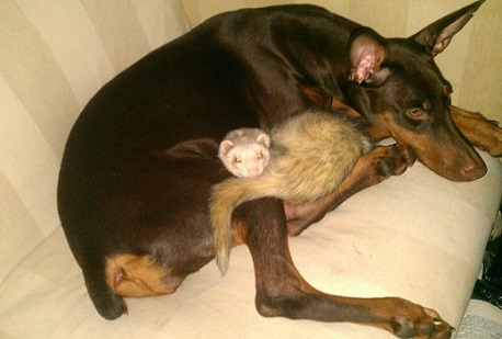 Dobie and ferret best friends