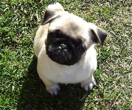 Baby pug outside