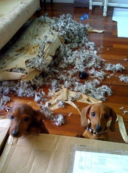 Dachshunds ripped up mattress
