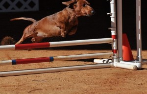 Start the new year with dog agility! (10 photos)