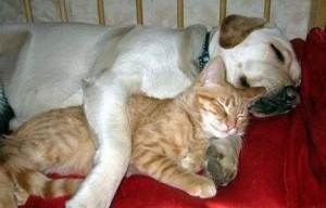 Dogs Cuddling With Cats (10 photos)