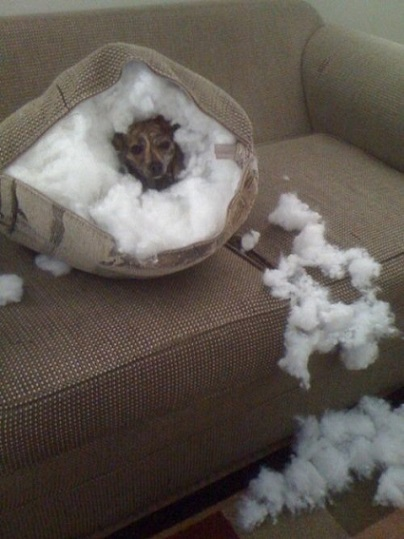Dog chews up couch pillow