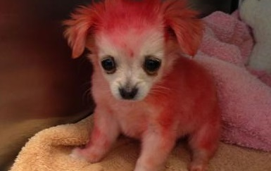 Candy the Chihuahua with pink fur