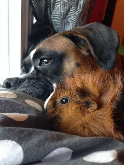 Boxer friends with brown guinea pig
