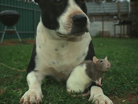 Pittie friends with a rat