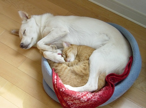 Shiba dog and cat cuddling