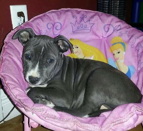 Pitbull puppy princess