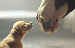 Budweiser Super Bowl commercial with Lab puppy