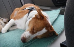 Training tips: How to get dogs used to car rides