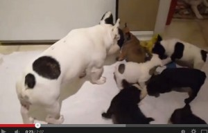 Aww, French bulldog plays with his puppies