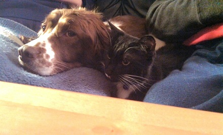 Sophie the springer with Ninja the black and white cat