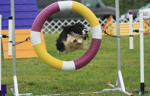 Mutts at Westminster? Well, only in agility