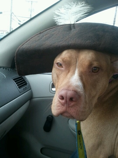 Pitbull in pirate hat