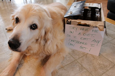 Golden retriever dog shaming