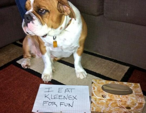 Bulldog dog shaming