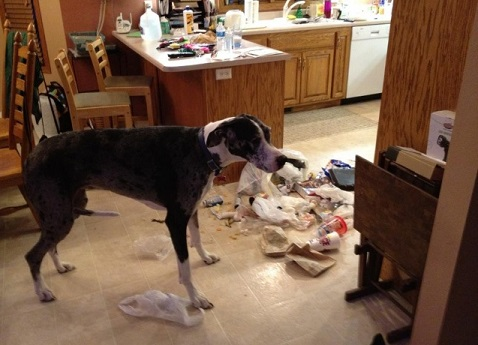 Dane mix knocked over trash