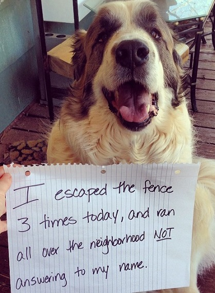 St. Bernard dog shaming