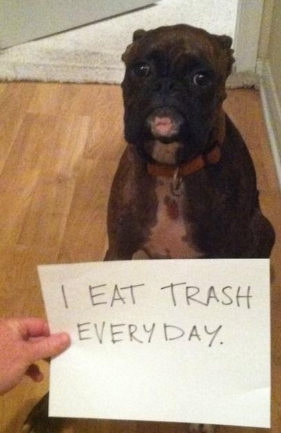 Dog Shaming boxer