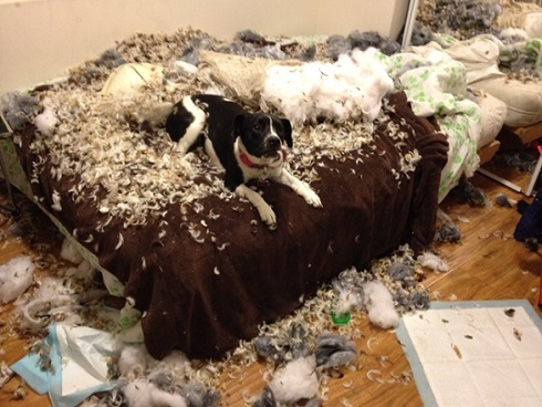 Dog ripped up pillows on the bed