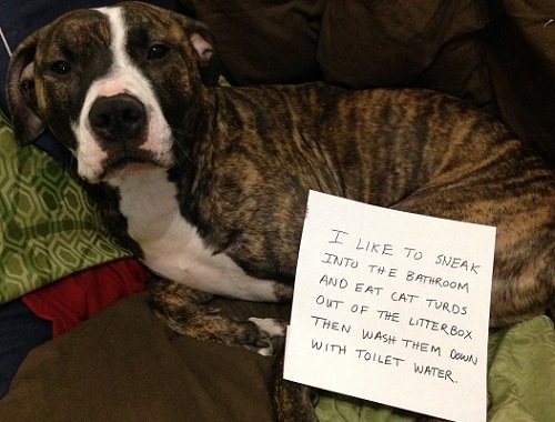 Boxer mix steals from the litter box