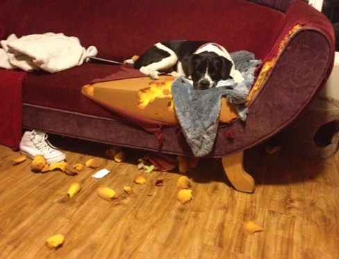 Dog chewed on the couch cushions