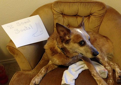 Cattle dog Dog Shaming