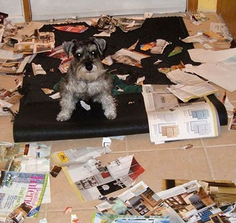 Schnauzer ripped up magazines