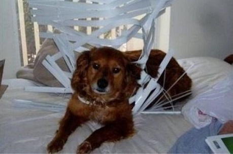 Dog destroyed blinds