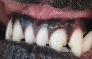 Alternatives to brushing a dog's teeth