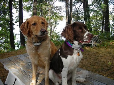 Shock collars for golden retriever and springer spaniel