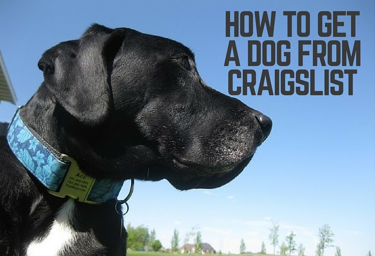 How To Get A Dog From Craigslist Thatmutt Com