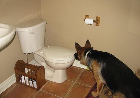 Shepherd drinks from the toilet