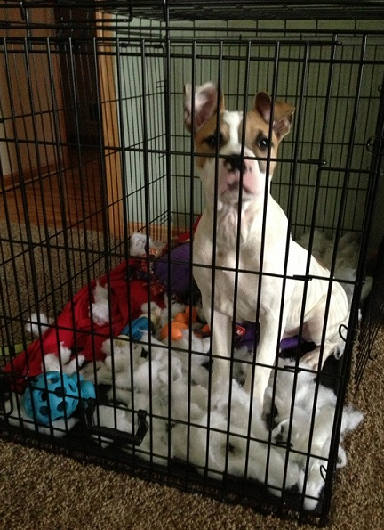 Pitbull mix ripped up her bed in her kennel