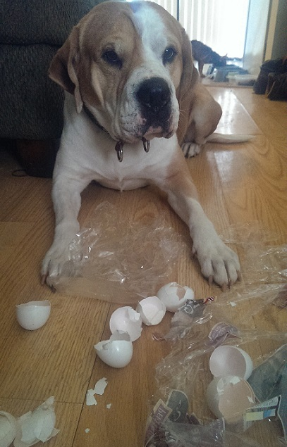 Brown and white dog got into the eggs