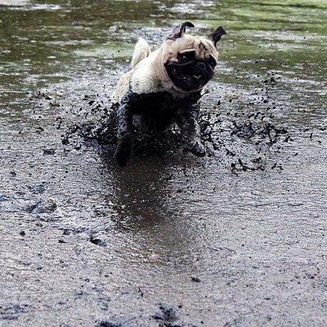 Pug loves jumping in the mud!