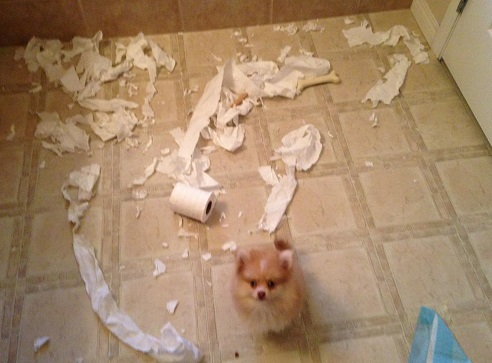 Pom dog shreads toilet paper