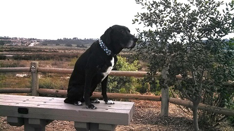 Black Lab mix sits on a park bench on a hike