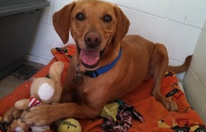 Vizsla mix for adoption in Encinitas, CA