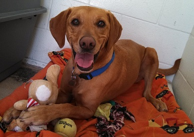 Cute Vizsla mix for adoption