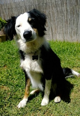 Border collie mix for adoption in South Australia