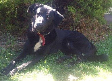 Hunter the Lab mix for adoption with Leema Rescue in South Australia