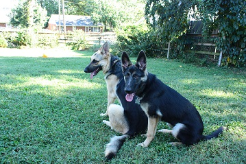 Two German shepherds in the yard