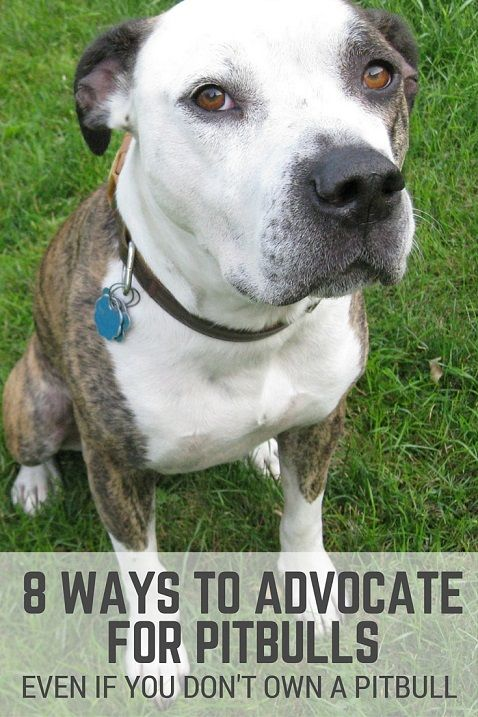 8 ways to advocate for pitbulls if you don't own a pitbull