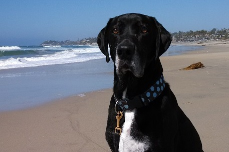 Black Lab on the beach