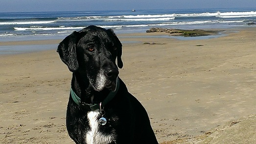 Black Lab mix at the beach