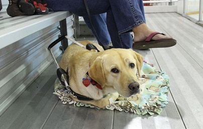 Dublin the Labrador in training to be a guide dog