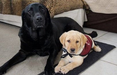 "Stetson the Lab ""career change"" dog and Adelle, puppy in training"